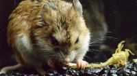 La souris qui transforme du venin de scorpion en banal analgésique