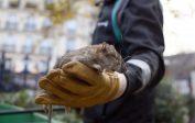 Paris Paillettes, Paris Poubelle: pour chasser les rats au pied de la tour Eiffel en grève, Hidalgo va fermer le champ de Mars
