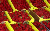 Bataille de brevets en Californie autour de centaines de types de fraisiers…<br>et pour des millions de dollars