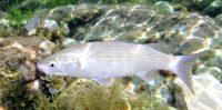 1/5 des poissons de rivière mâles se sont féminisés, entre autres à cause de la pilule