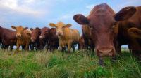 Manger moins de bœuf pour la planète – ou pour le socialisme mondial?