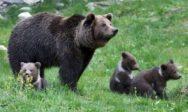 «Sélection naturelle»? Les mamans ourses gardent leurs petits plus longtemps pour profiter des lois de protection humaines
