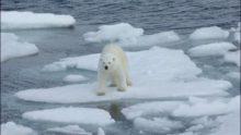 Climat: on dénonce une vague de chaleur mondiale, mais la glace est bien là qui ne fond pas – et les ours non plus…