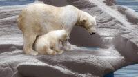 Encore un mensonge écolo: les ours polaires de plus en plus nombreux malgré les prédictions des avocats de la thèse du réchauffement climatique