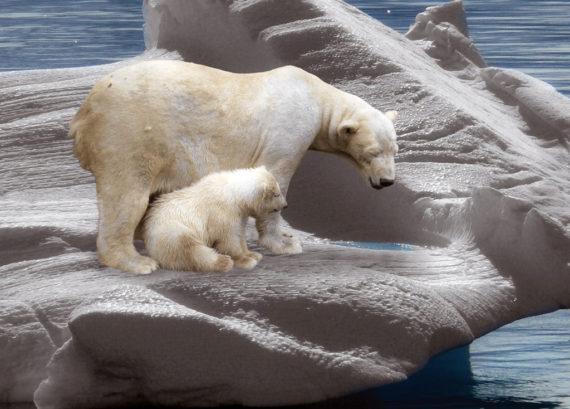 ours polaires réchauffement climatique