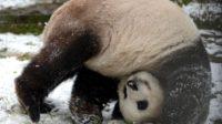 La Chine met en scène un panda pour promouvoir la Route de la Soie comme «un chœur de nations» – orchestré par elle