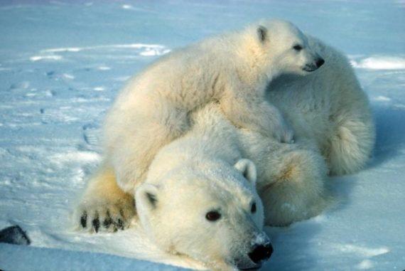 Ours polaire climato alarmistes Arctique