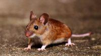 Chez la souris les migrations sont génétiques: un gène égoïste les détermine