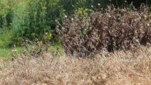 Le désherbage nuit à l'environnement, il faut laisser s'ensauvager les gazons!